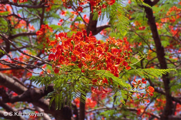 Field guides in Kannada for Common Avenue trees